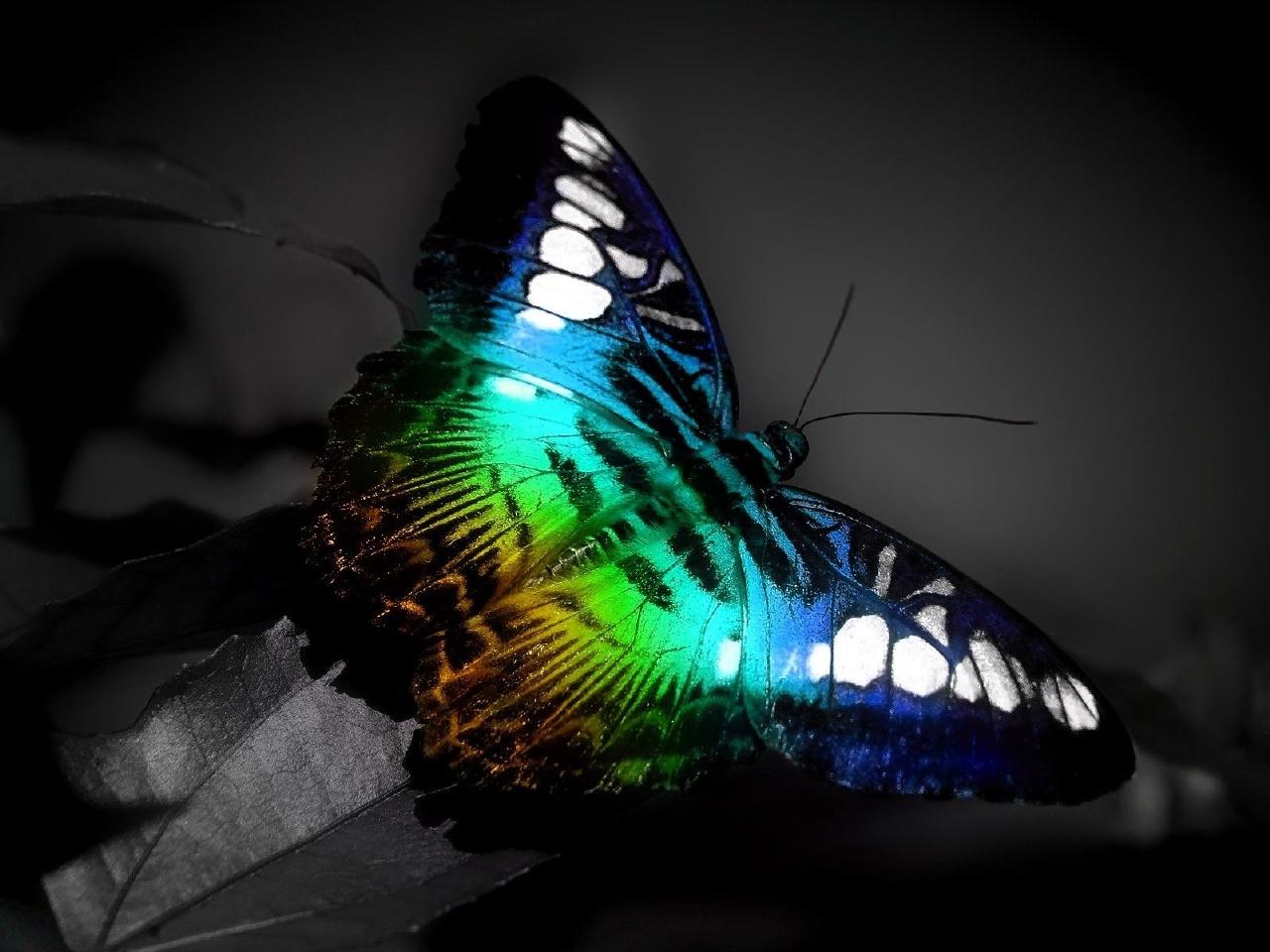 радужная бабочка на серо-черном фоне, скачать обои для рабочего стола
