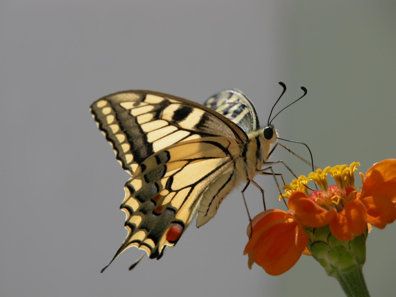 скачать фото, бежевая бабочка на цветке