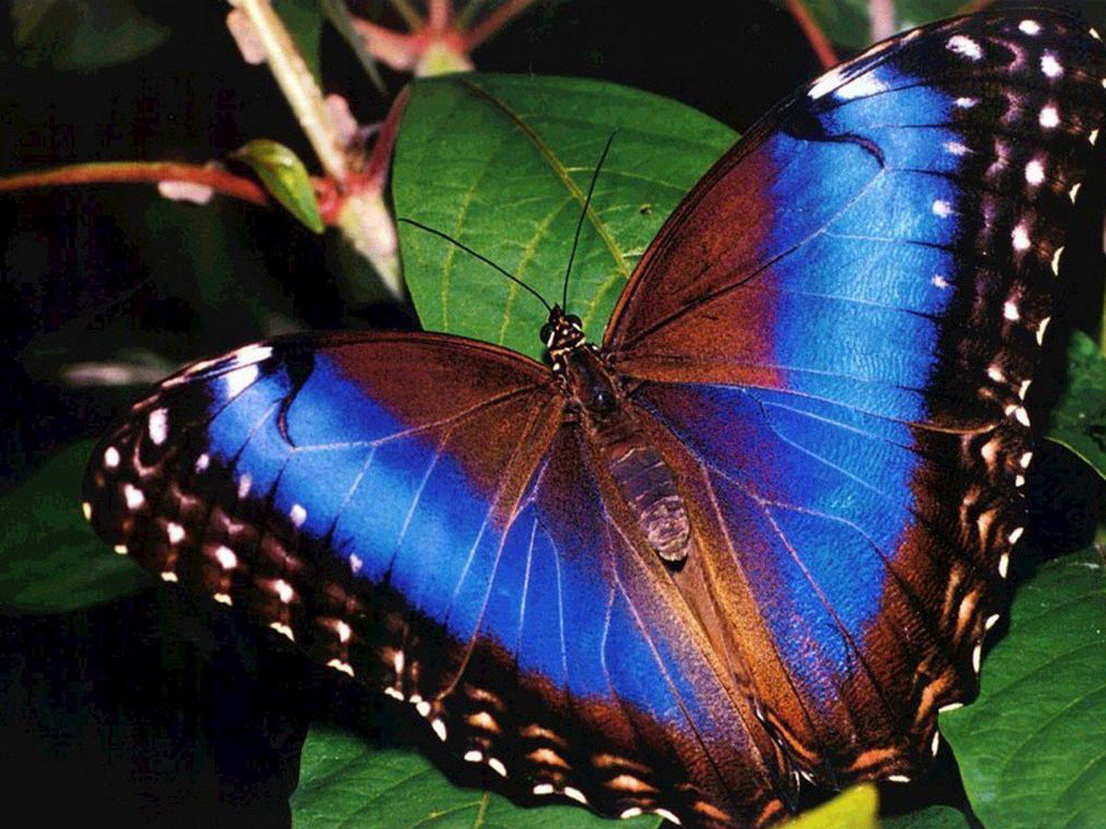 Фото самая красивая бабочка мира