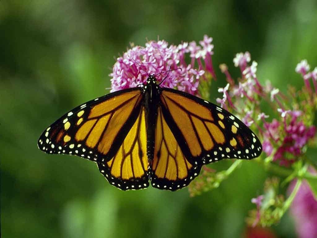бабочка сидит на цветке, скачать фото бесплатно