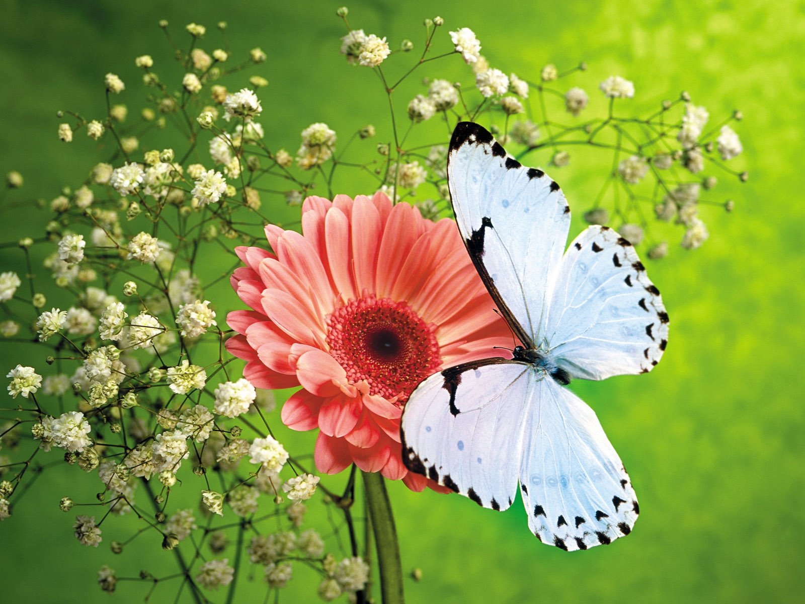 белая бабочка сидит на красном цветке, скачать фото, обои для рабочего стола