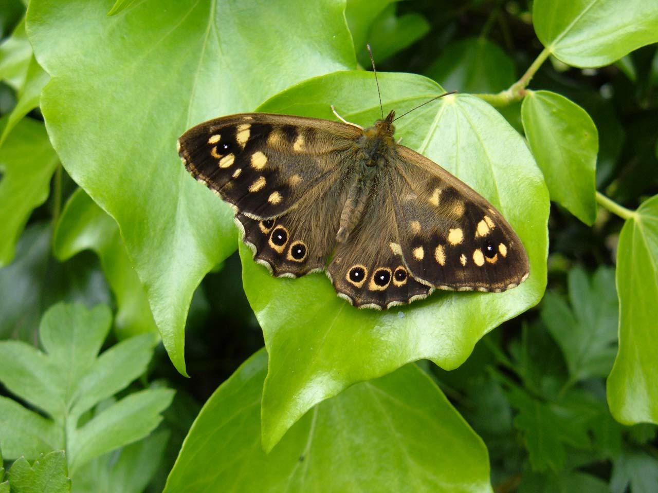 коричневая бабочка на зеленом листке, скачать фото