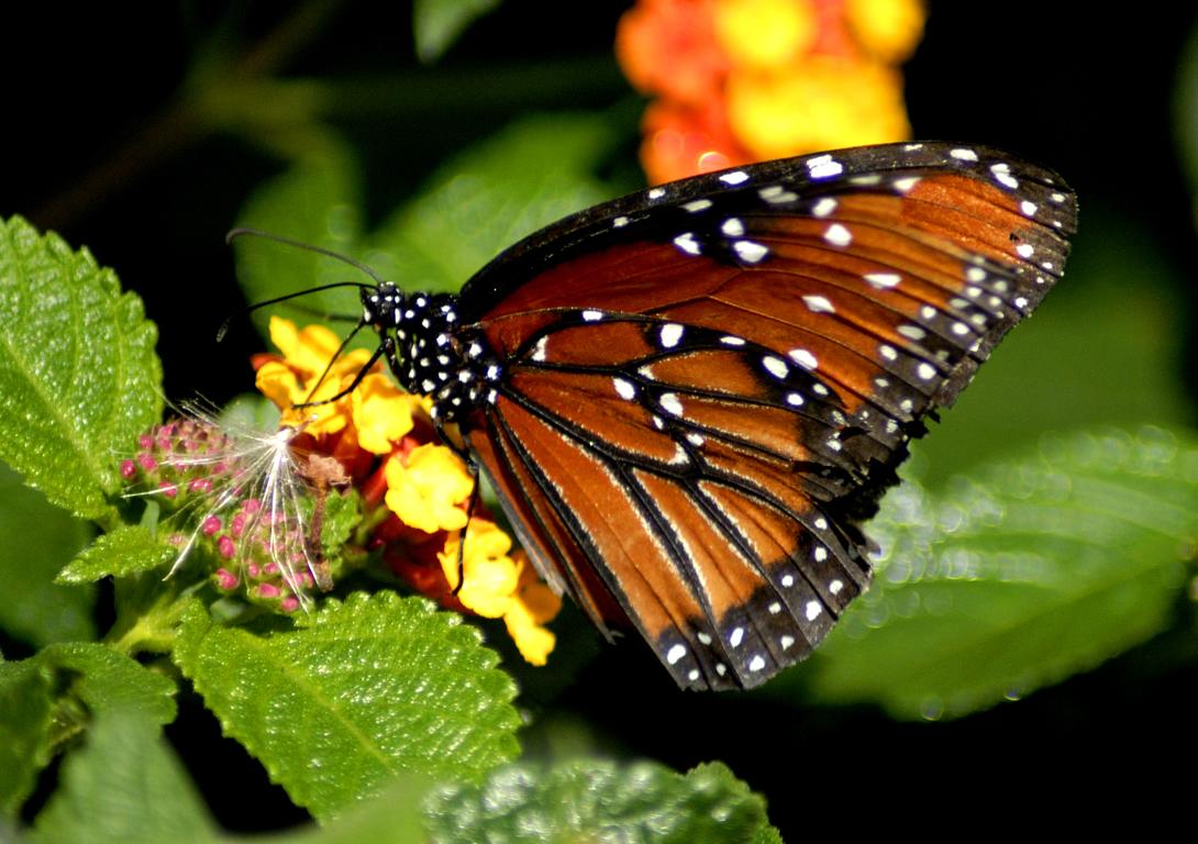 коричневая бабочка сидит на цветке, скачать фото, обои на рабочий стол