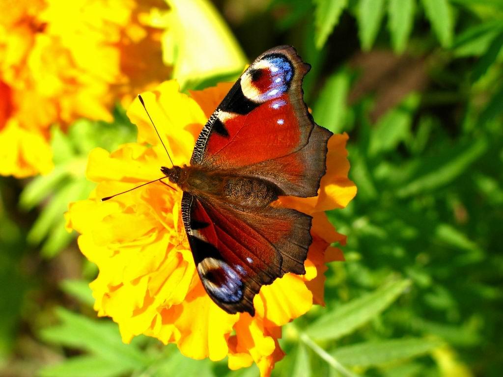 красивая бабочка сидит на желтом цветке, скачать фото