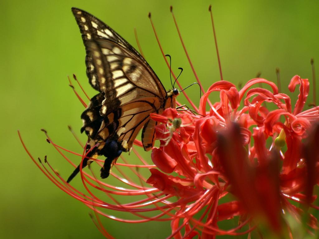 бабочка сидит на большом красном цветке, скачать фото