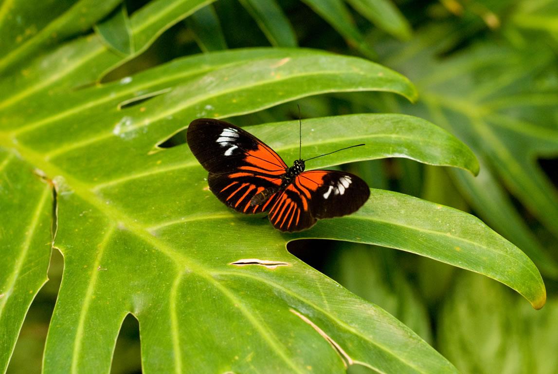 яркая красно-черная бабочка сидит на большом зеленом листе, скачать фото