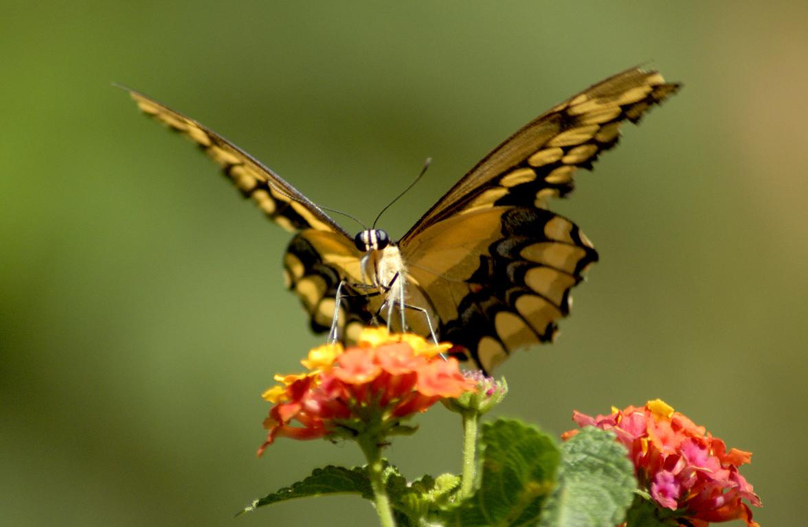 бабочка опыляет цветок, скачать фото