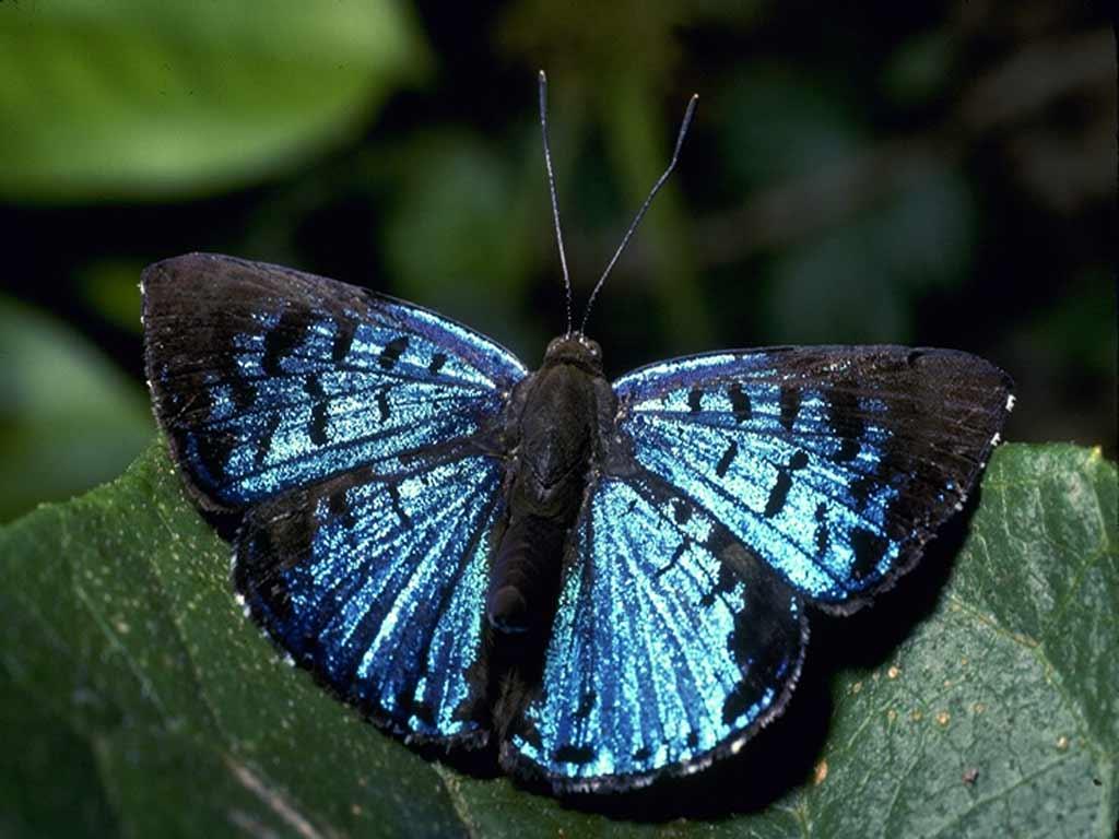 большая красивая черно-синяя бабочка, butterfly wallpaper, обои для рабочего стола