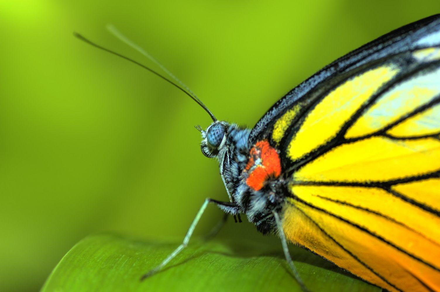 крупное фото, яркая желтая бабочка на фоне зелени, скачать обои для рабочего стола