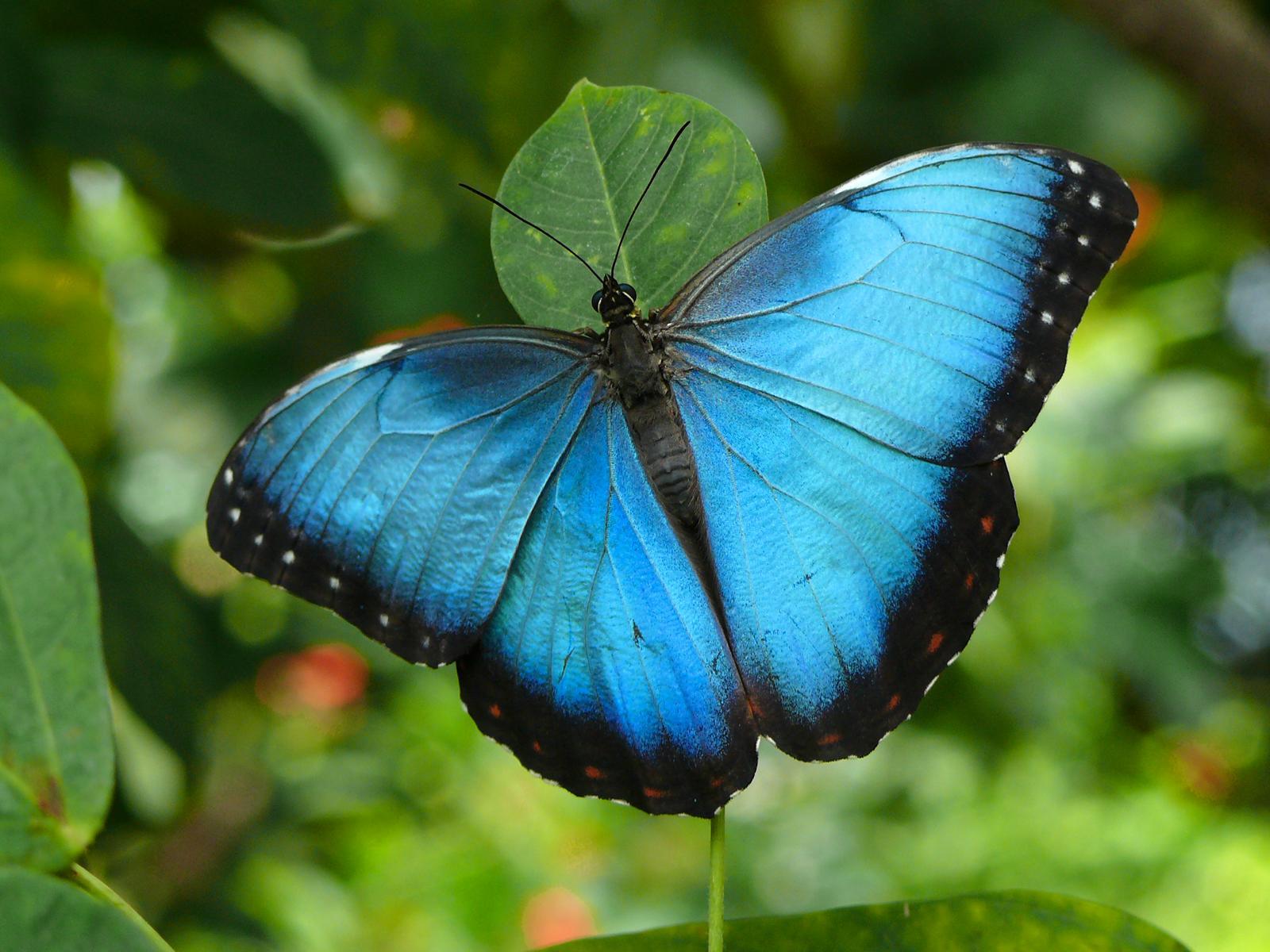 Синяя бабочка на фоне зелени, скачать фото, обои для рабочего стола