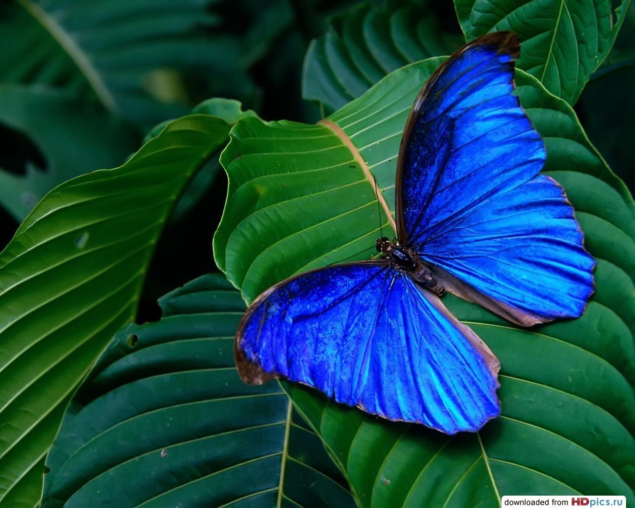 ярко синяя бабочка сидит на зеленом листке, скачать фото