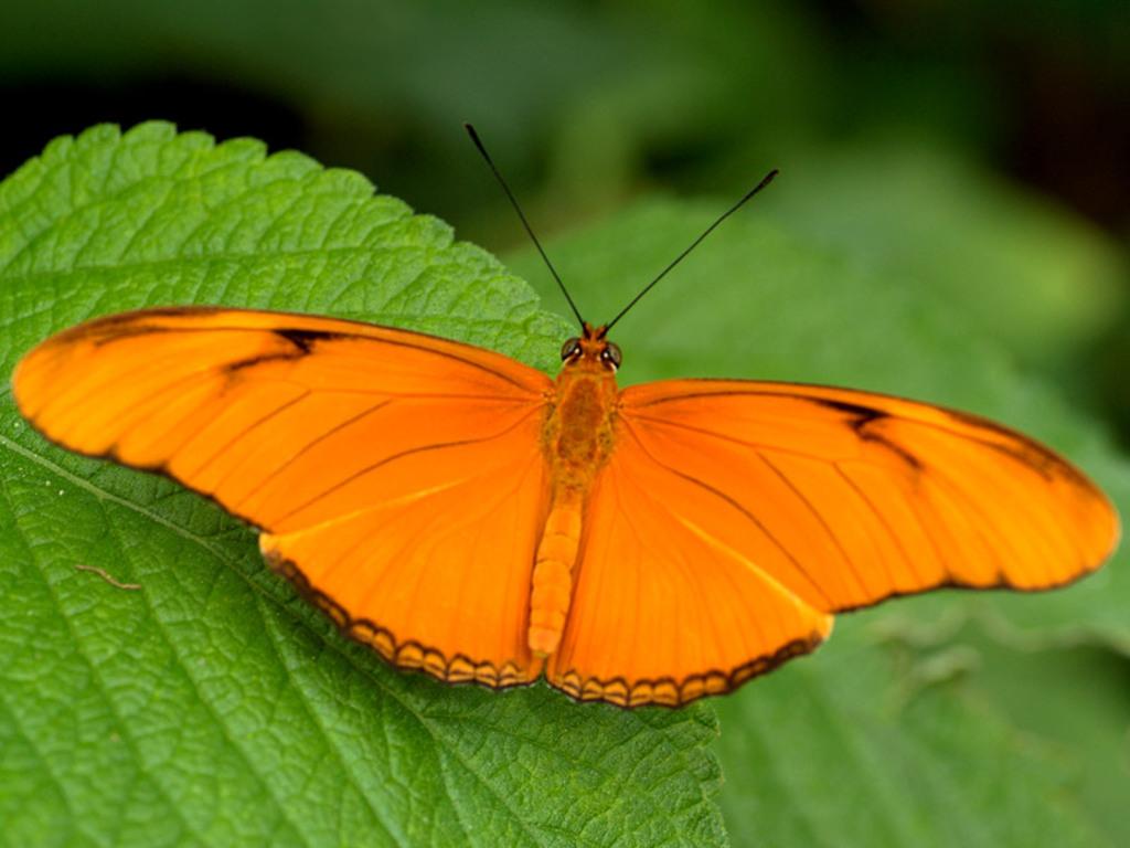большая оранжева бабочка, красивое фото, скачать