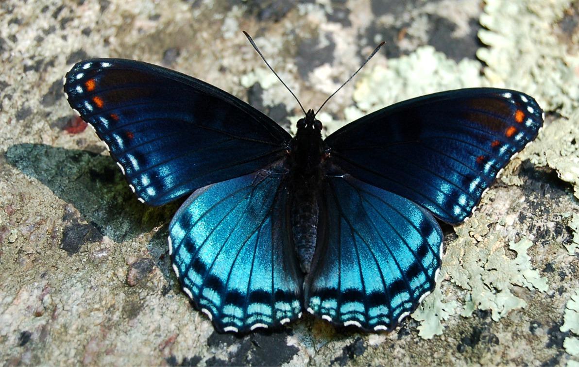 синяя бабочка, скачать обои для рабочего стола, butterfly wallpaper