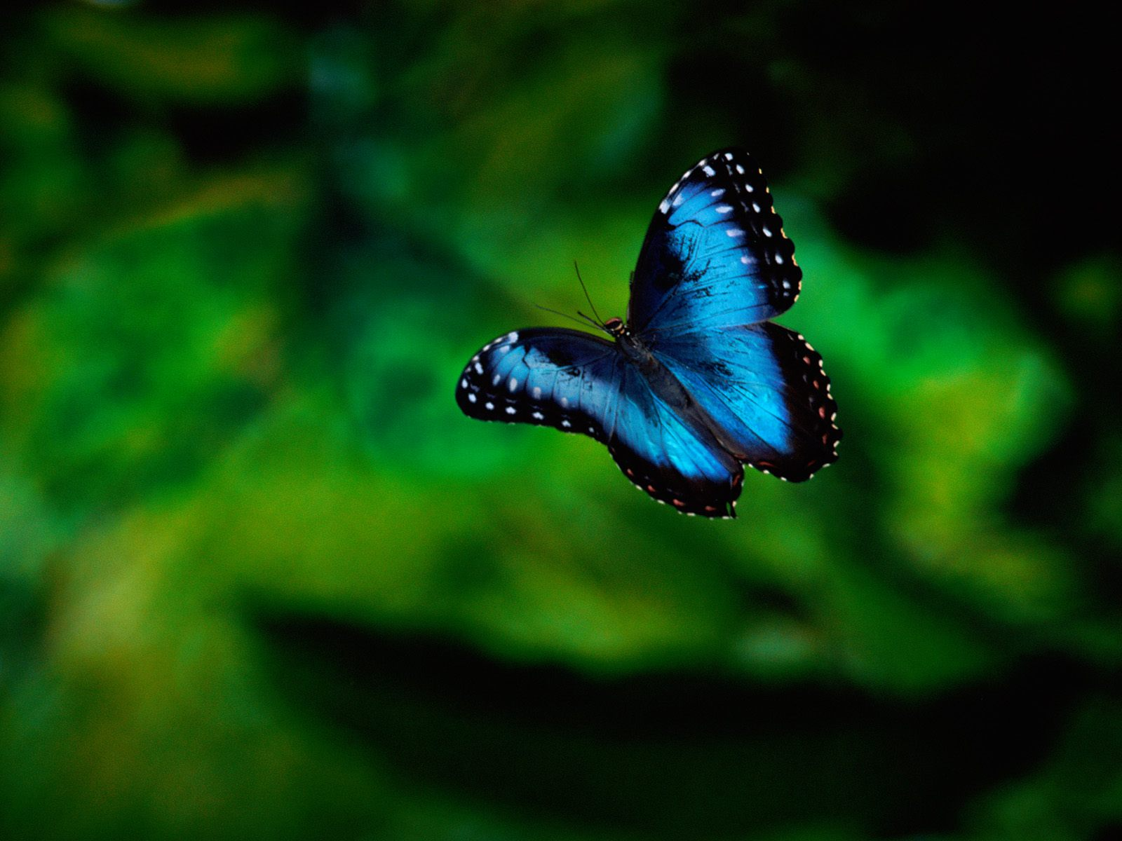 сине-черная бабочка летит на фоне зелени, скачать фото