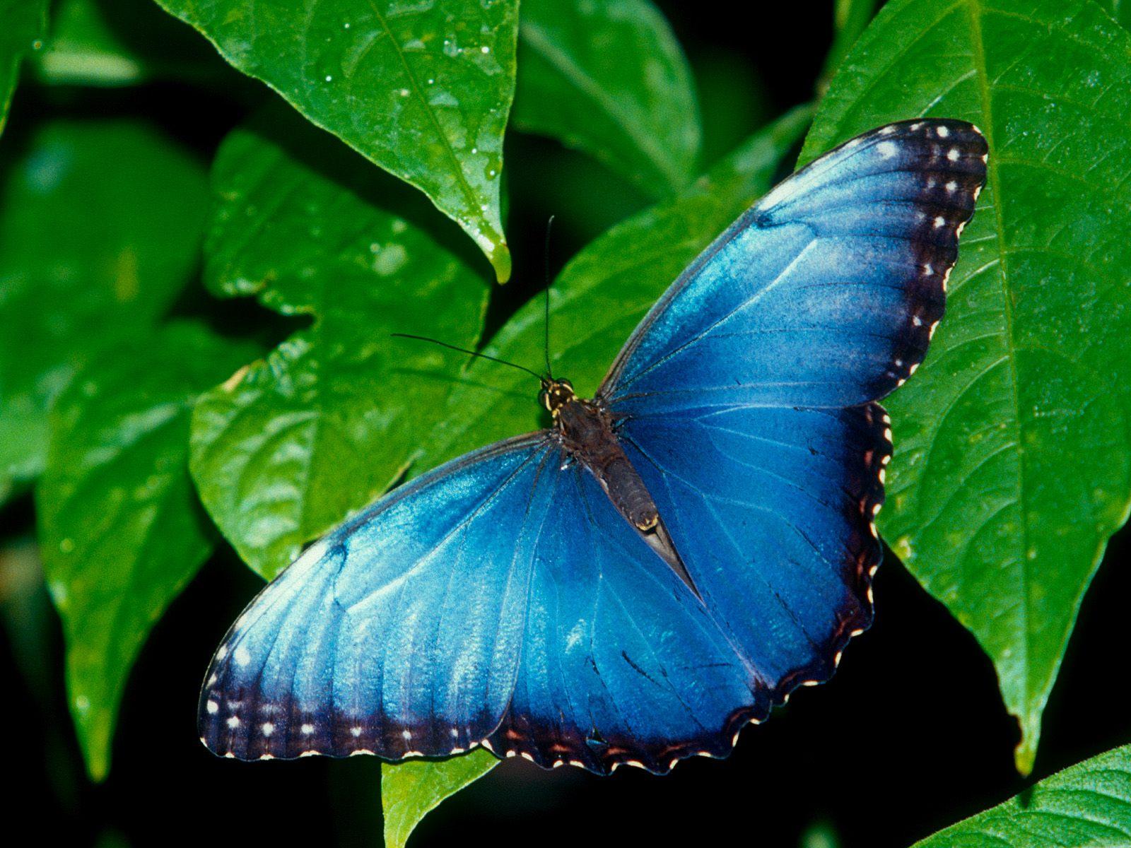 красивая яркая синяя бабочка, скачать фото