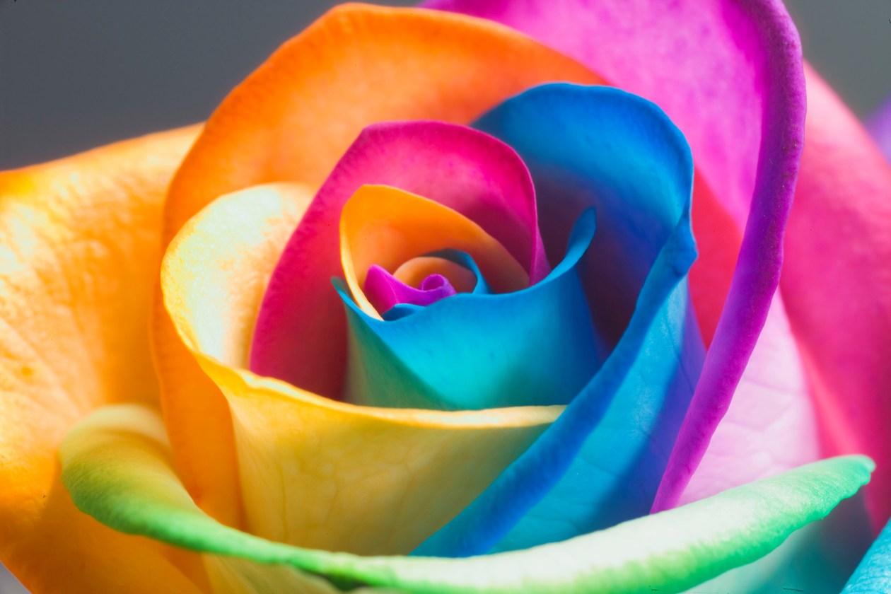 цветок, роза, радуга, скачать фото, обои для рабочего стола