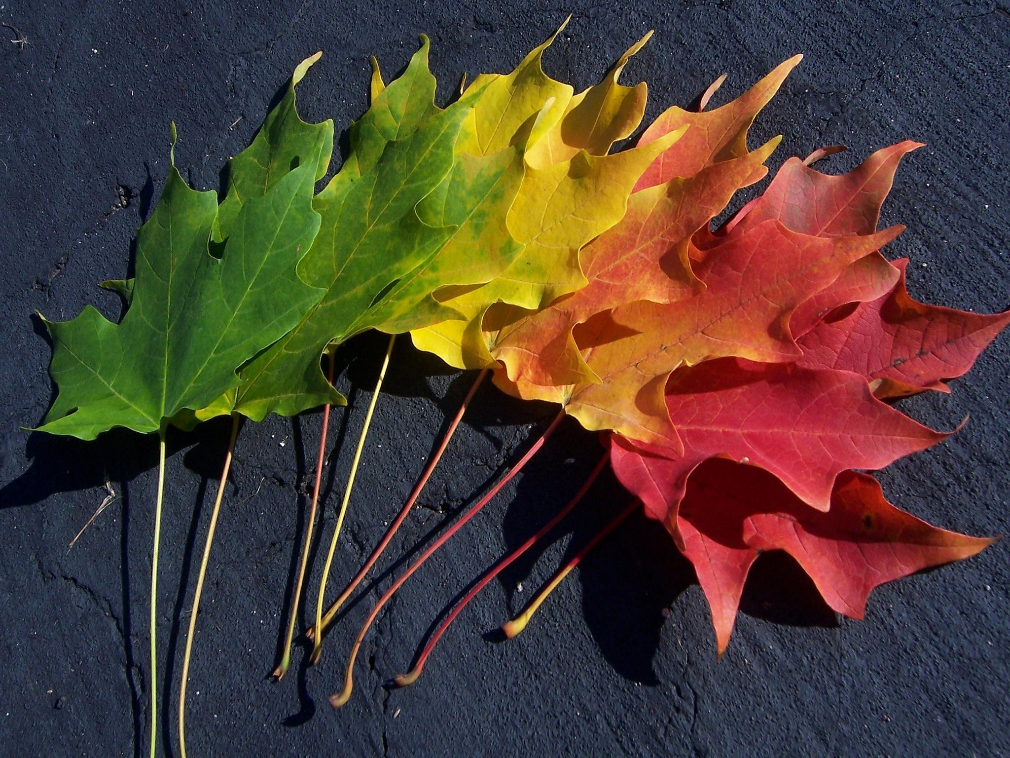 осенние листья, листья клена всех цветов радуги, скачать фото