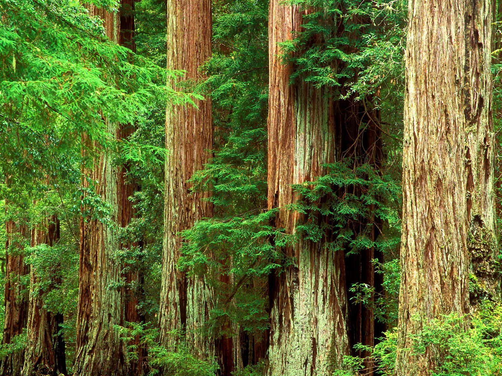 толстые стволы деревьев, скачать фото, обои на рабочий стол