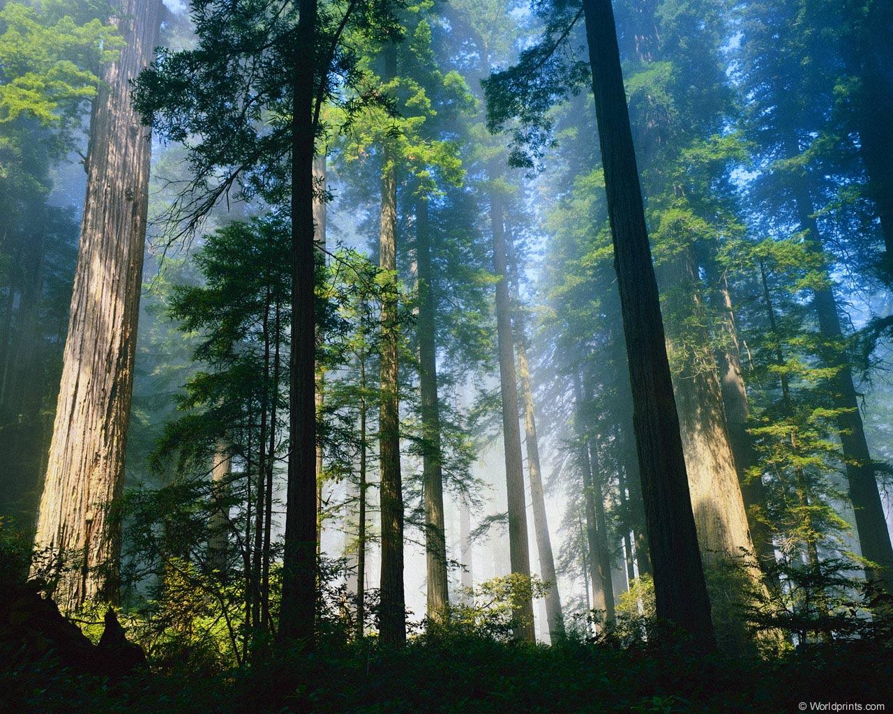 высокие деревья, скачать фото, обои на рабочий стол