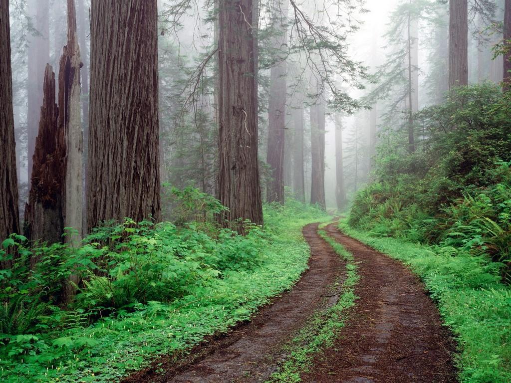 дорога в лесу, скачать фото, обои на рабочий стол, лес, деревья