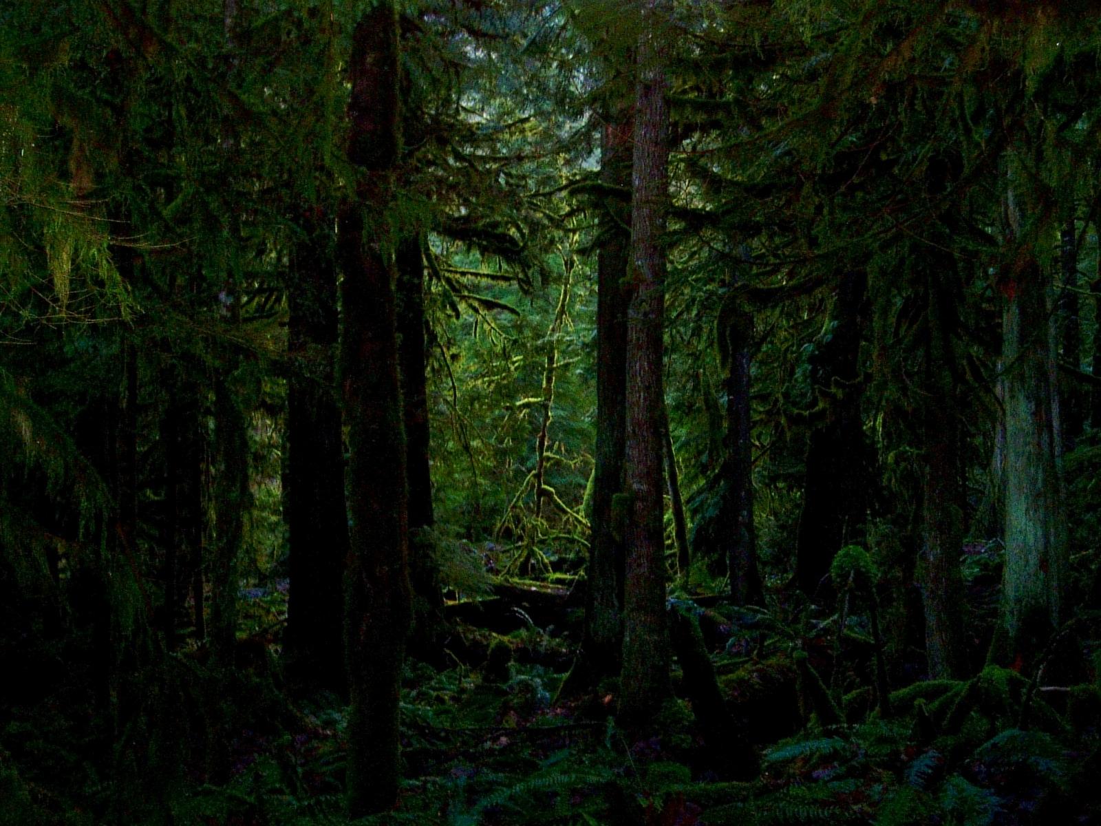 густой темный лес, деревья, стволы деревьев, скачать фото