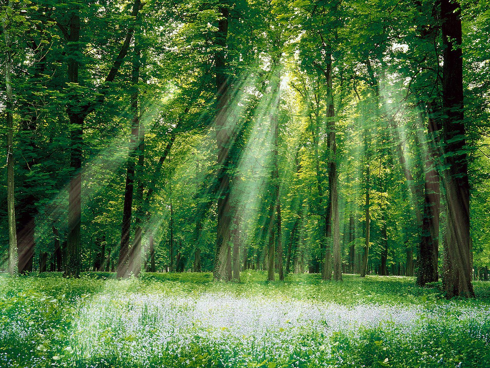 лучи солнца в лесу, скачать фото, лес, деревья
