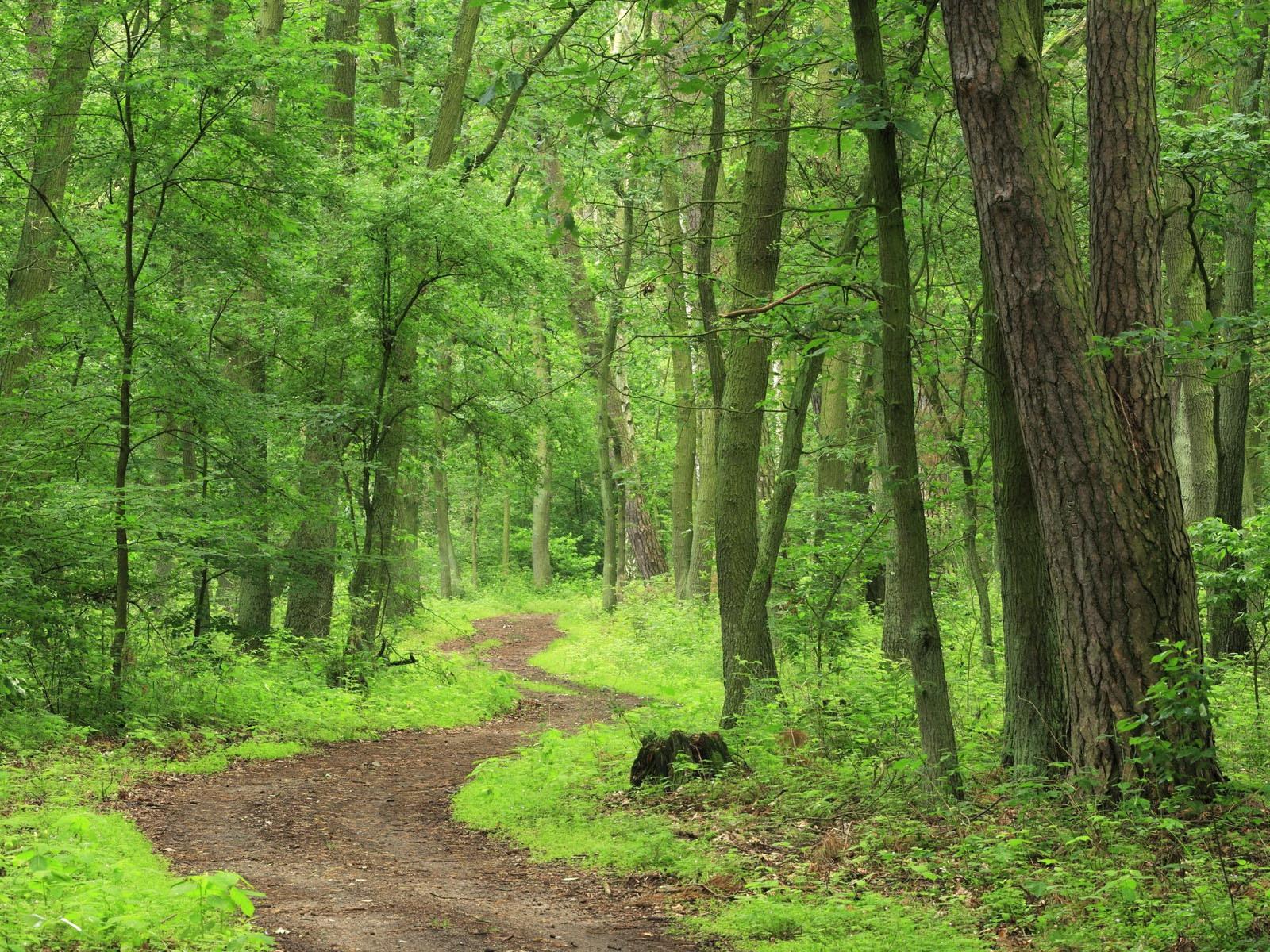 обои для рабочего стола, тропинка извилистая в зеленом густом лесу
