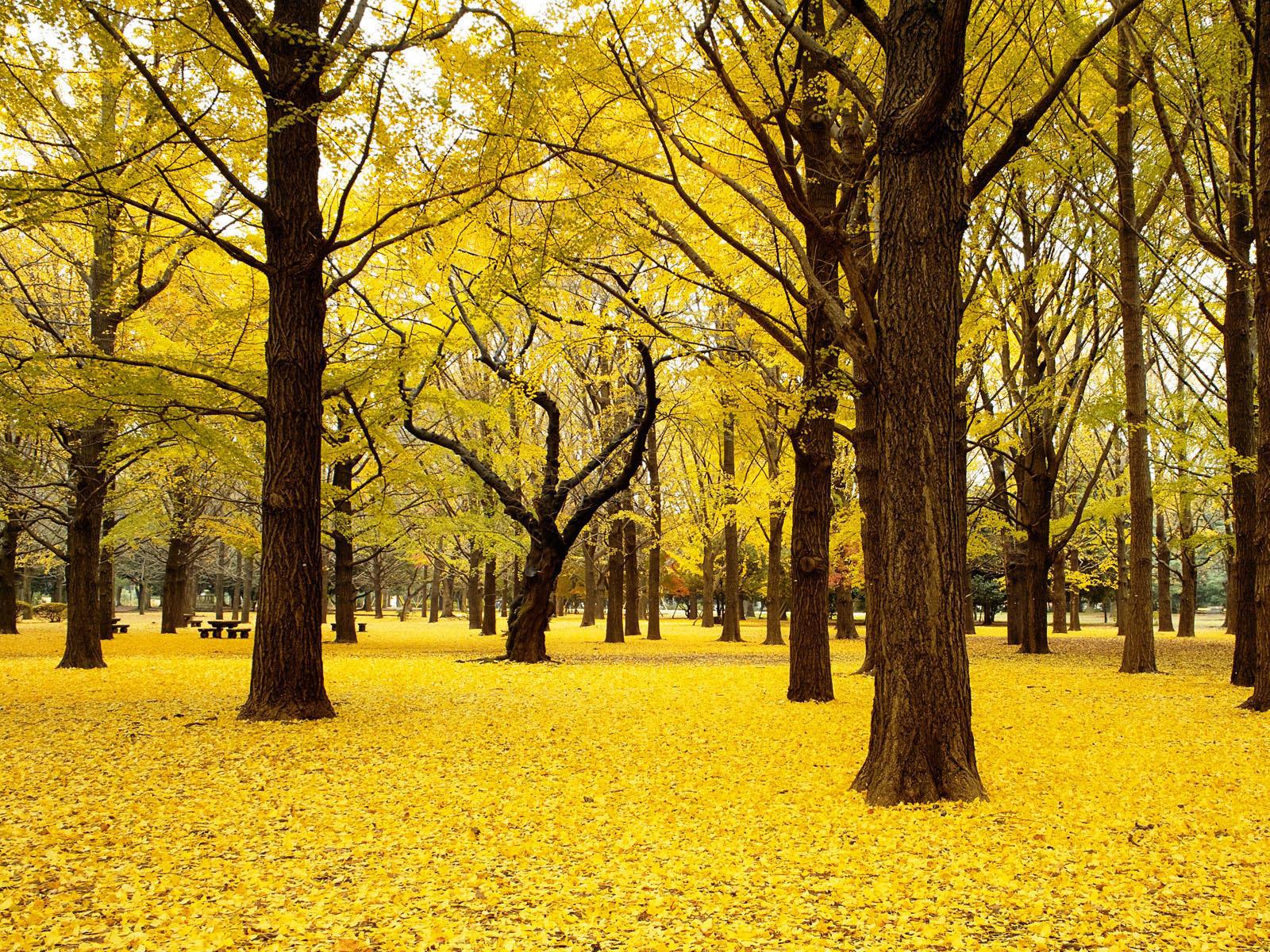 желтые листья, осень, листопад, скачать фото, осенний лес, обои для рабочего стола