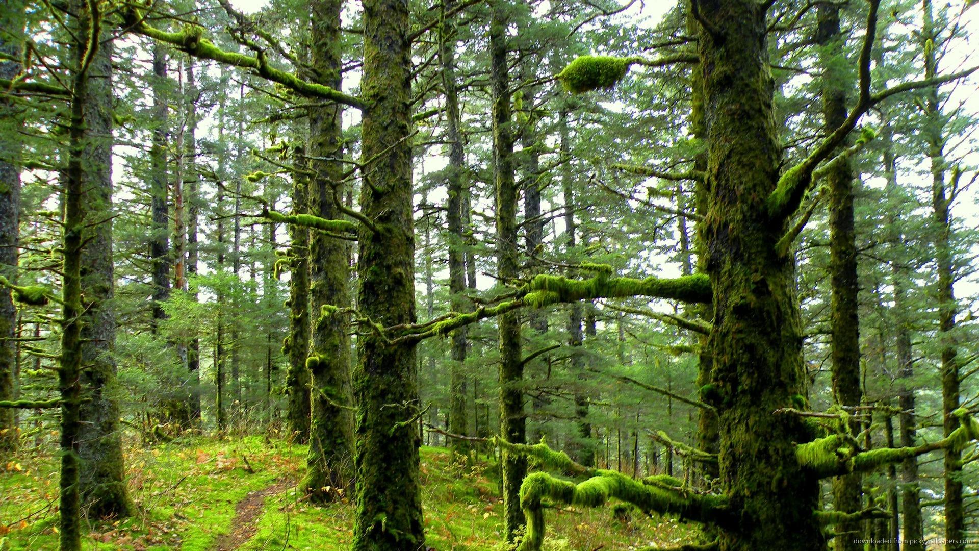 лес, стволы деревьев, покрытые мохом, скачать фото