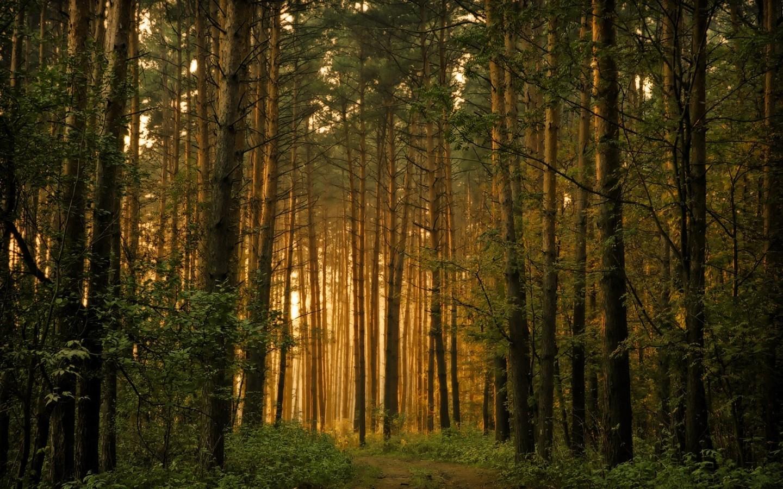 густой лес, скачать фото, дымка, частокол из стволов деревьев