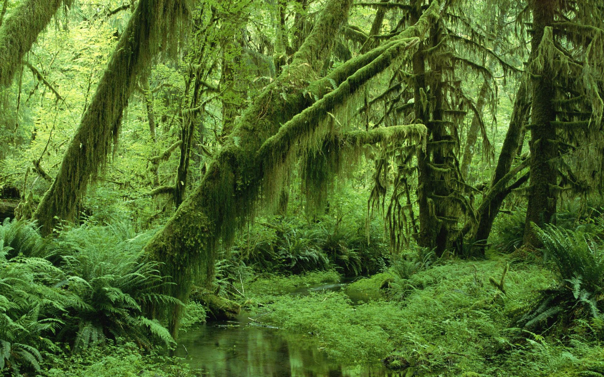зеленый лес, деревья и мох, скачать фото, стволы деревьев, обои для рабочего стола