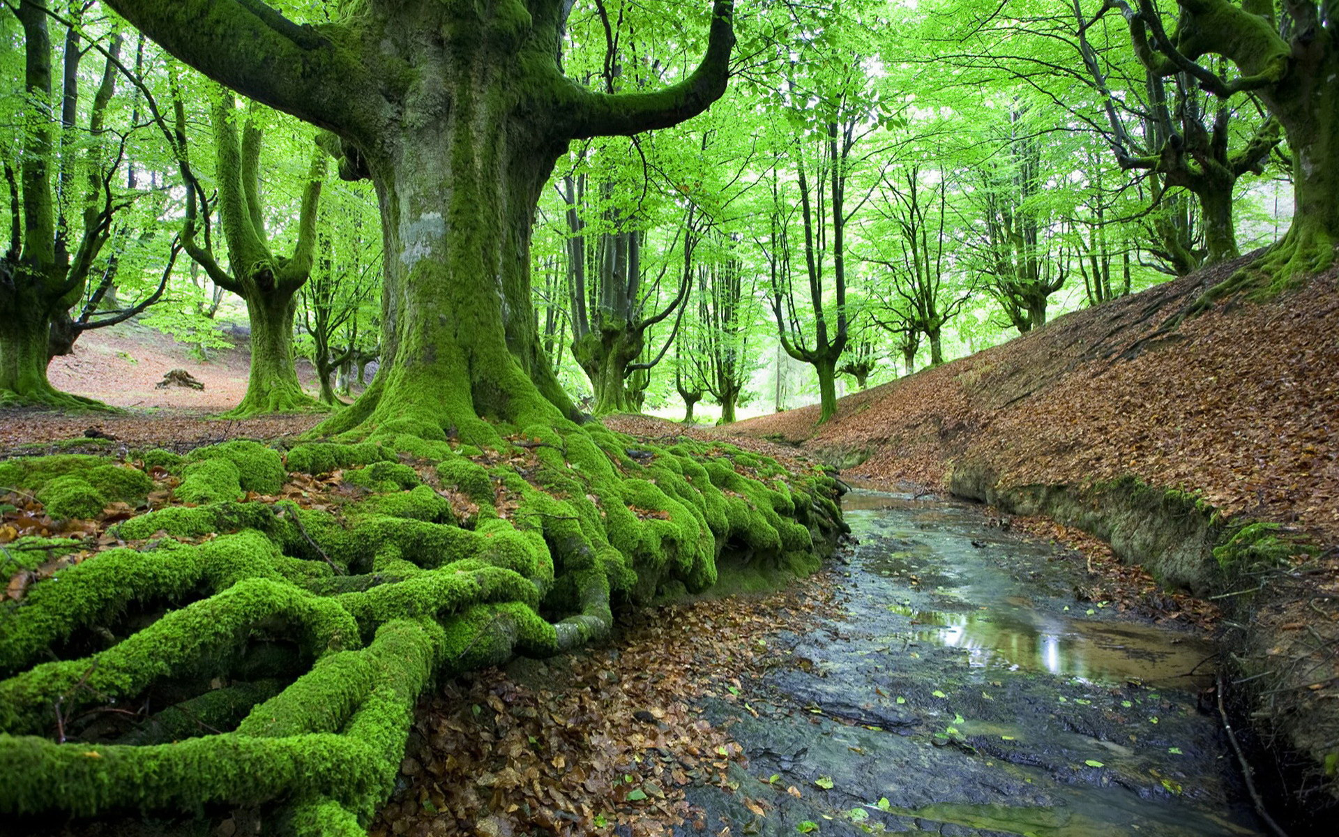 руче и деревья в мху в лесу, мох, дерево, скачать фото