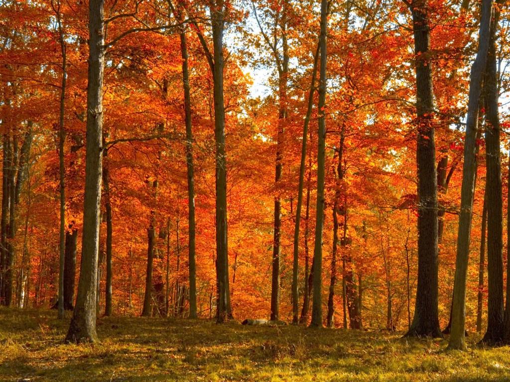 осень, лес, скачать фото, обои для рабочего стола, деревья, опавшие листья