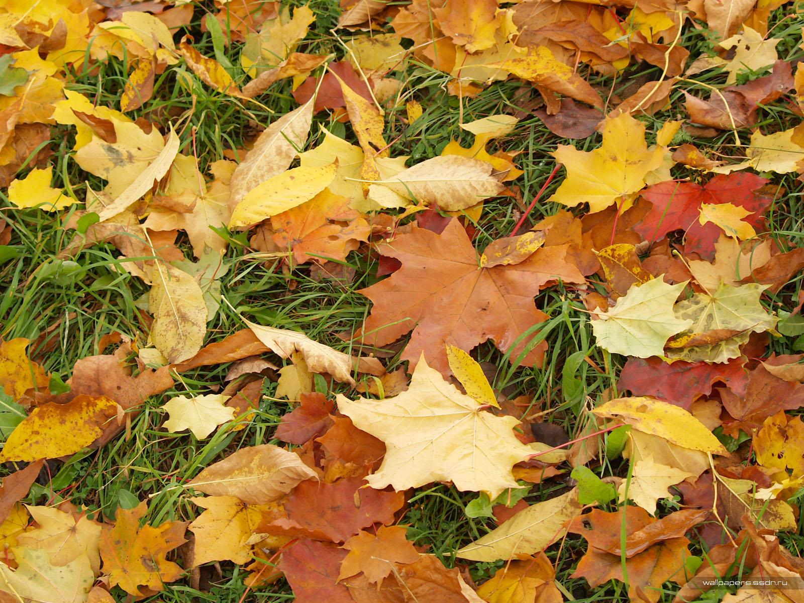 опавшие желтые листья, скачать фото, обои на рабочий стол, осень