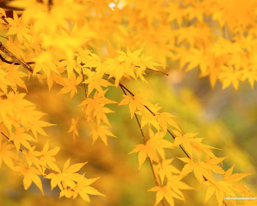 осенние желтые лисьтя, скачать фото, обои на рабочий стол, осень