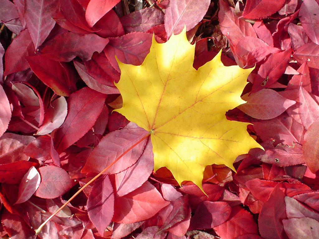 желтые лист кленв на фоне красных, осень, скачать фото, обои для рабочего стола