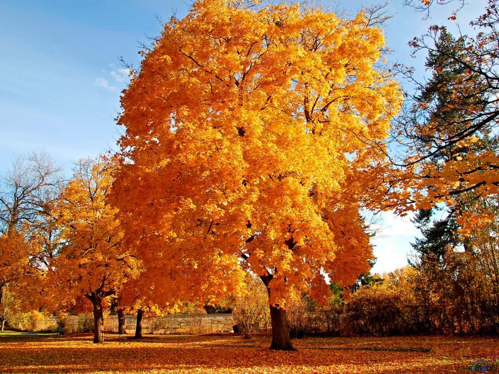осенне желтое дерево, обои для рабочего стола, осень