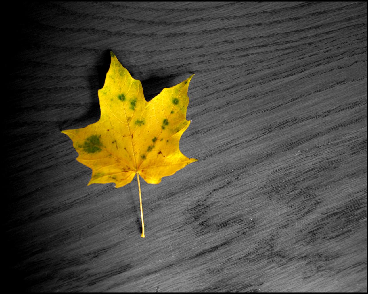 желтый лист клена, осень, скачать фото, обои для рабочего стола, листопад