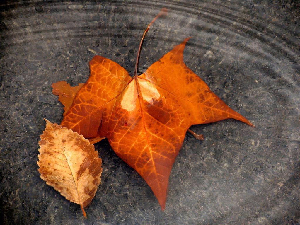 кленовый лист, скачать фото, обои на рабочий стол, осень