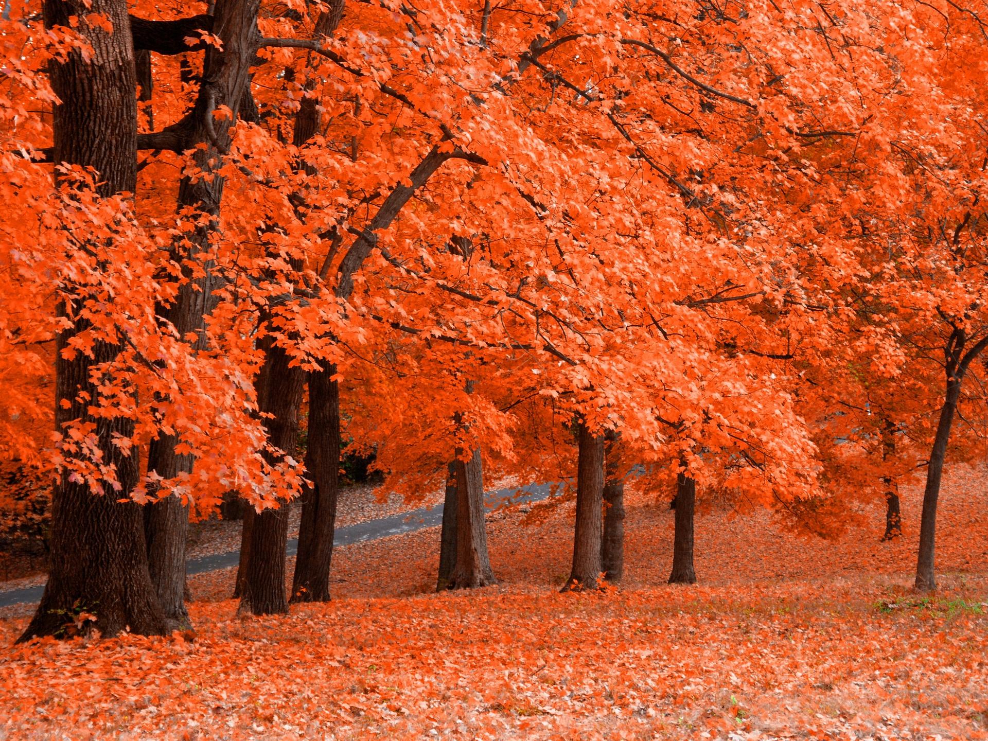 яркая рыжая листва, скачать фото, обои для рабочего стола, осень, autumn wallpaper