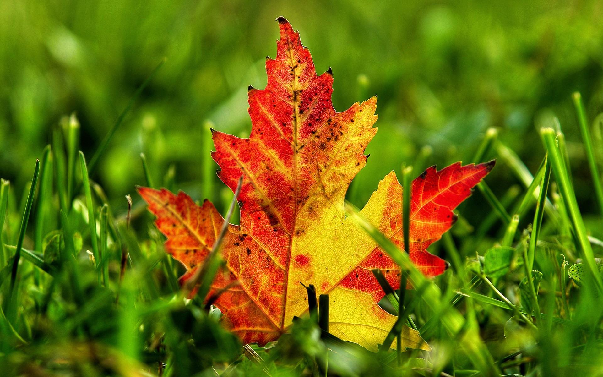 желто-карсный кленовый лист на фоне зеленой травы, скачать фото, обои для рабочего стола, осень