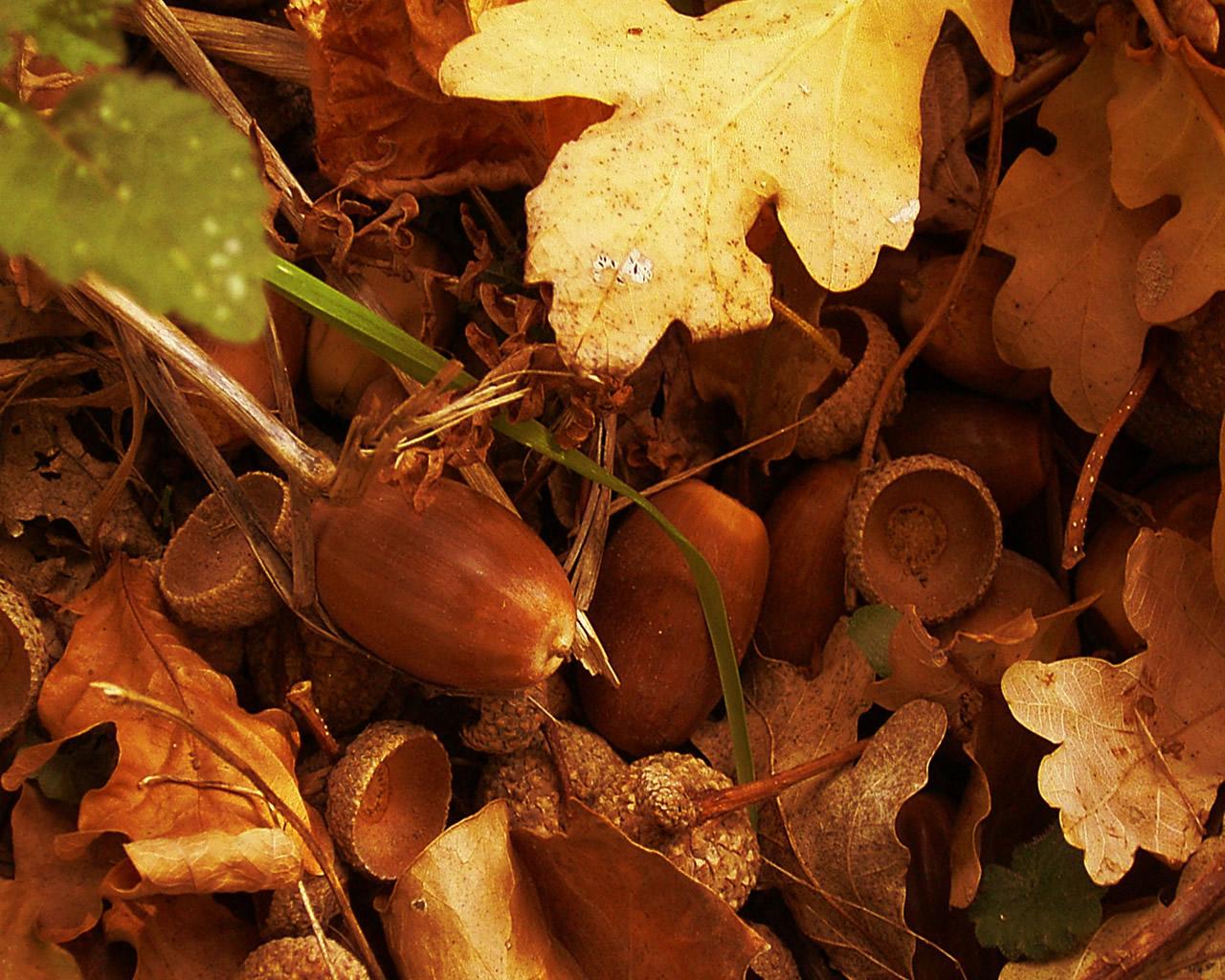 желуди, осенний листопад, скачать фото, обои для рабочего стола, листья, обои для рабочего стола