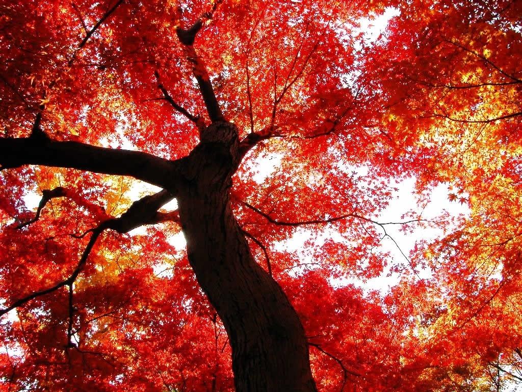 красная осенняя листва, скачать фото, дерево, обои для рабочего стола, осень
