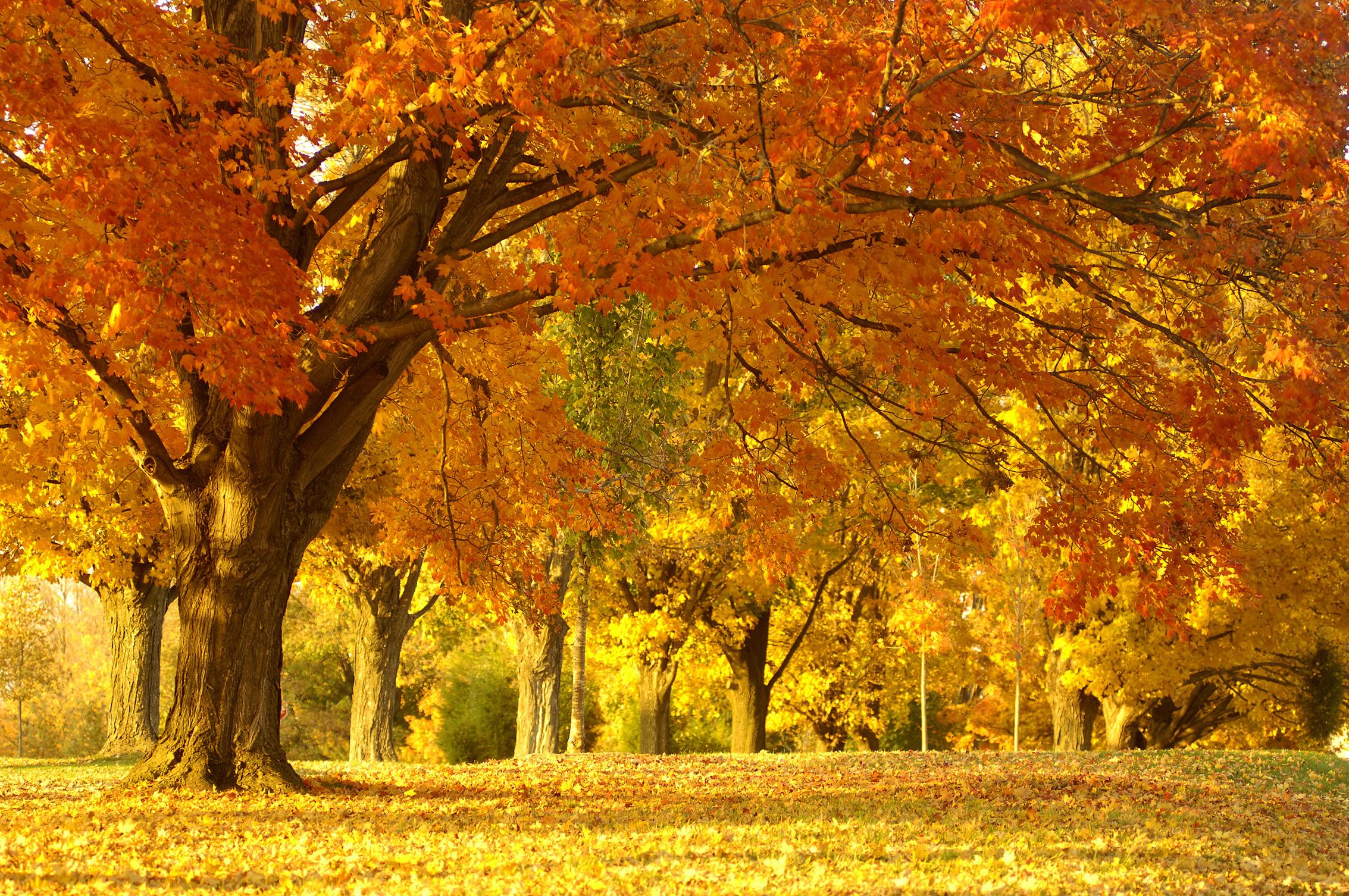 yellow autumn wallpaper, скачать фото, осень, обои на рабочий стол, желтые листья, листопад