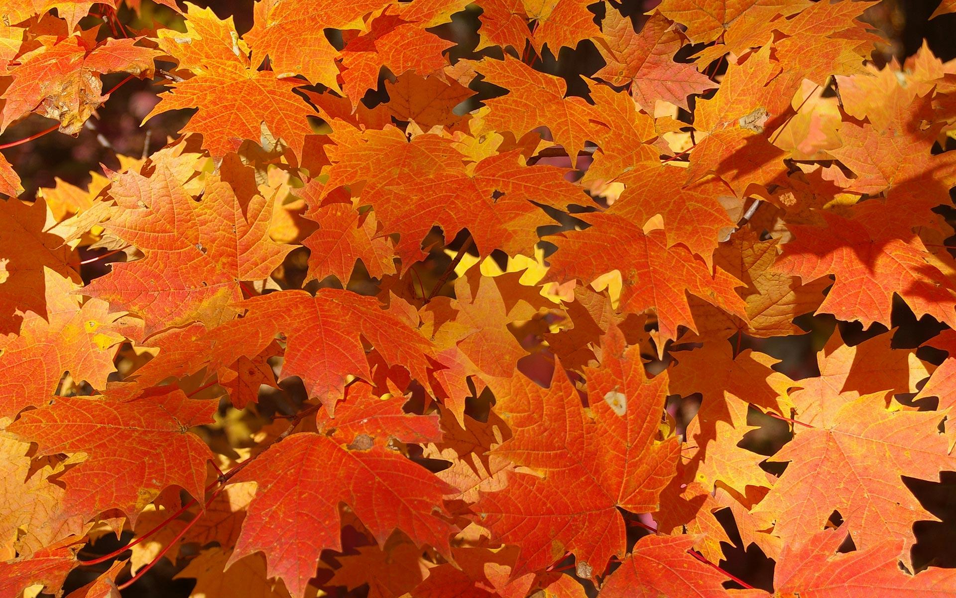 оранжевые, рыжие осенние листья, скачать фото, осень