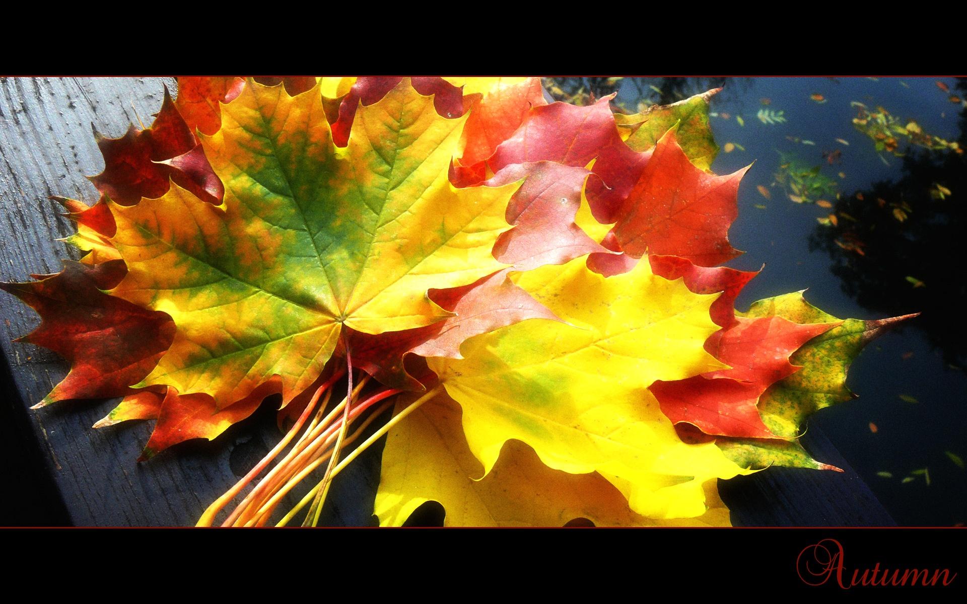 букет кленовых листьев, осень, осенняя листва, скачать фото