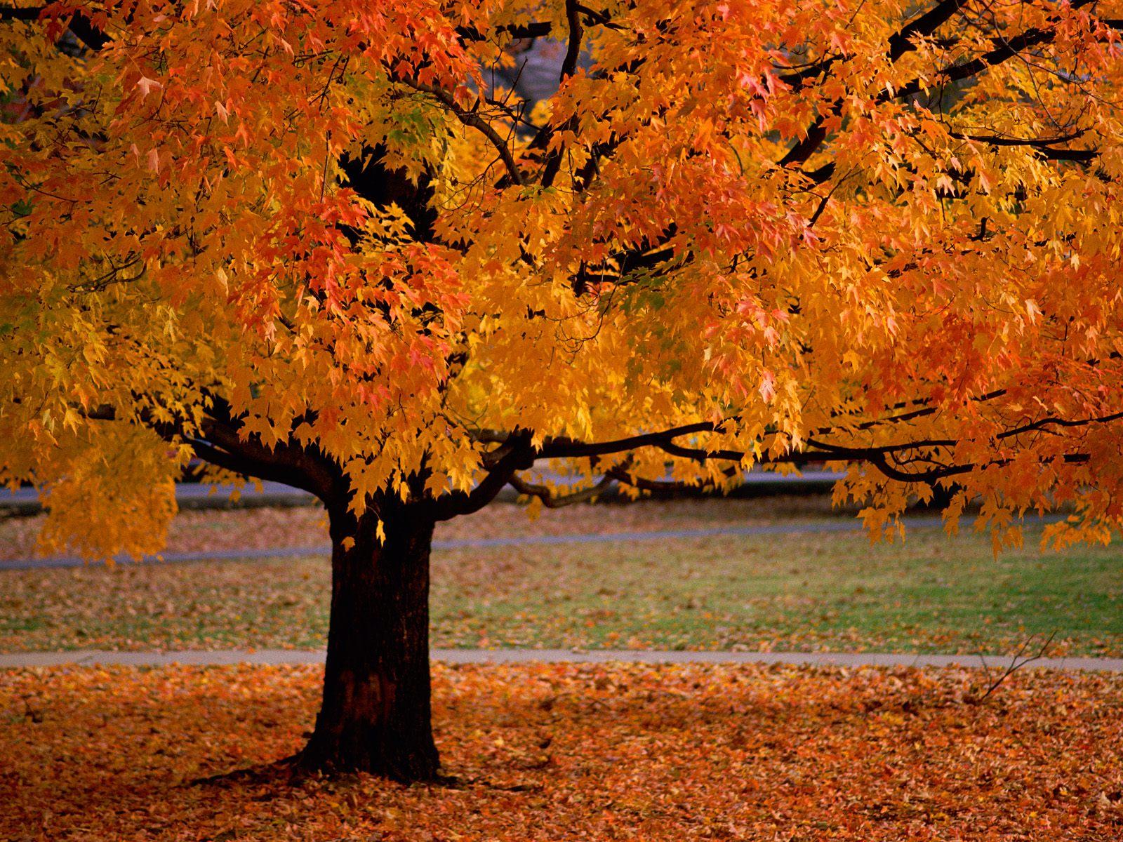 осень, дерево, желтые листья, листопад, скачать фото, обои для рабочего стола