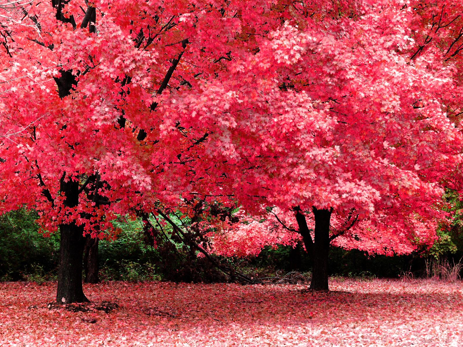 осень, красивое фото, яркая розовая листва, листопад, autumn wallpaper
