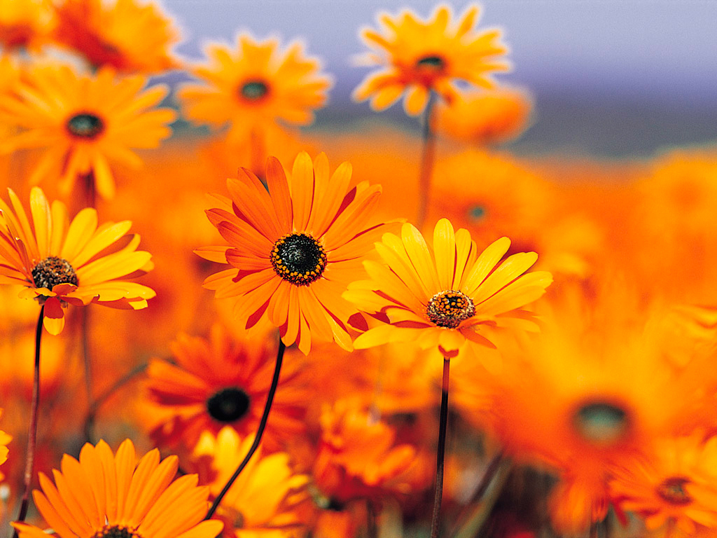 оранжевые цветы, скачать фото, обои для рабочего стола, лето