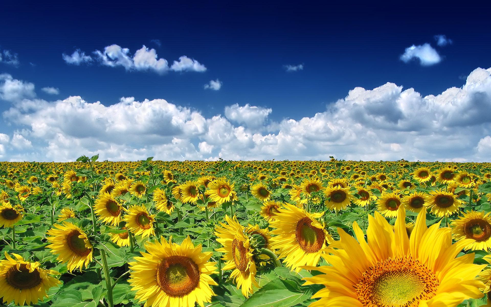 лето, небо, подсолнухи, скачать фото, облака